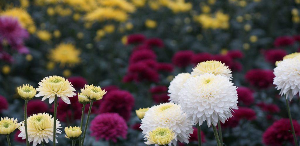 Chrysanthemen – Tipps und Infos