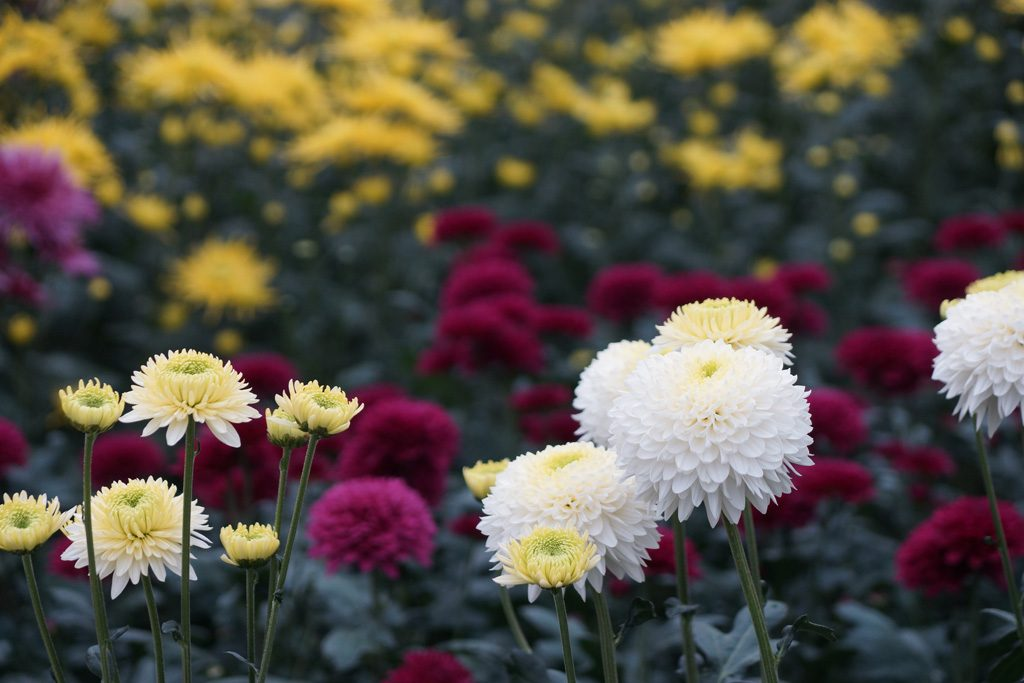Chrysanthemen