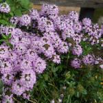Thymian Blüte
