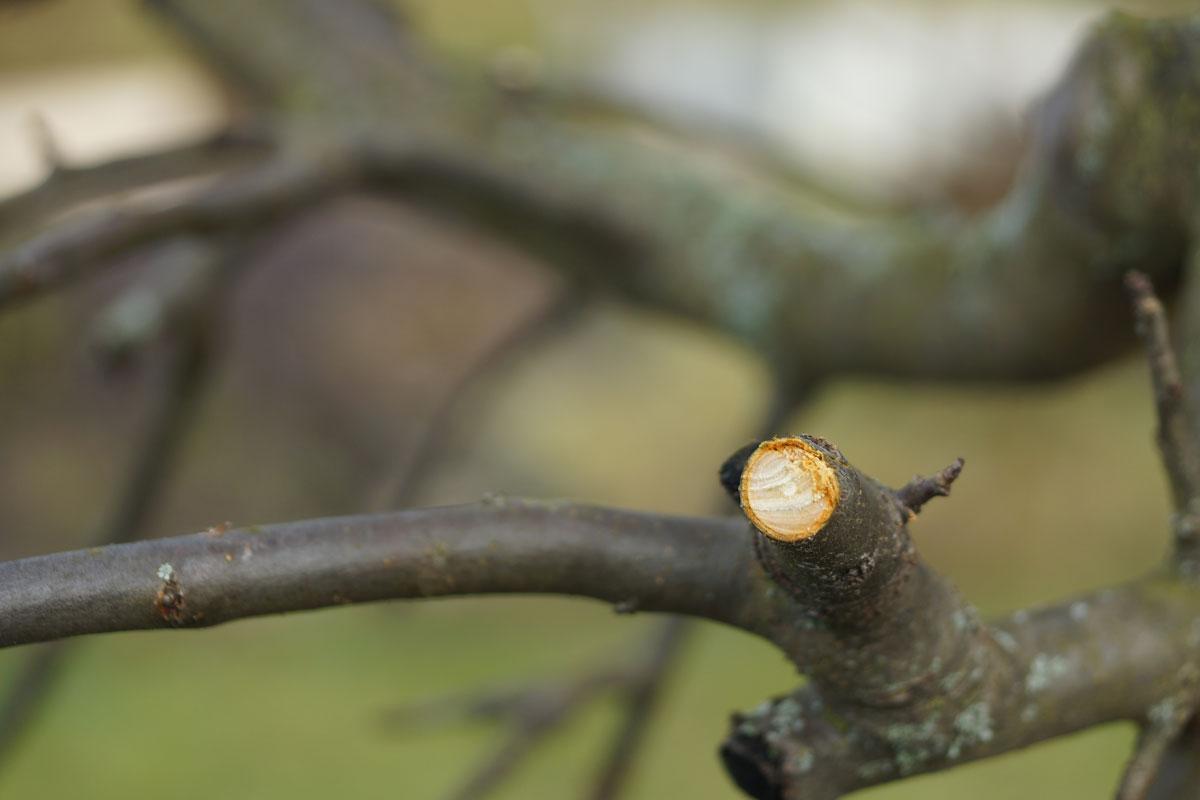 Astschnitt beim Obstbaum
