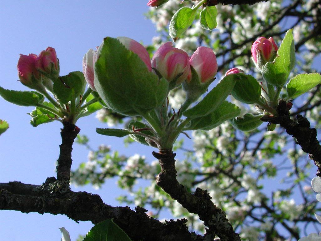 apfelbaum-veredeln