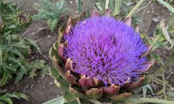 Artischocke-Blüte