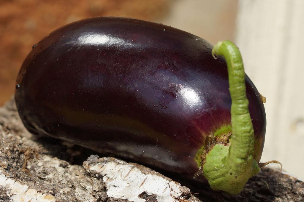 auberginen pflanzen videotipp vom g rtnermeister garteln. Black Bedroom Furniture Sets. Home Design Ideas