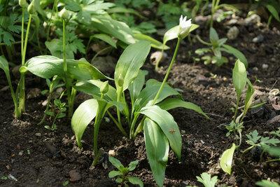 Bärlauch Pflanze