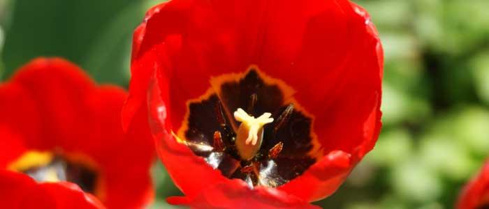 Bauernregeln im April Tulpe