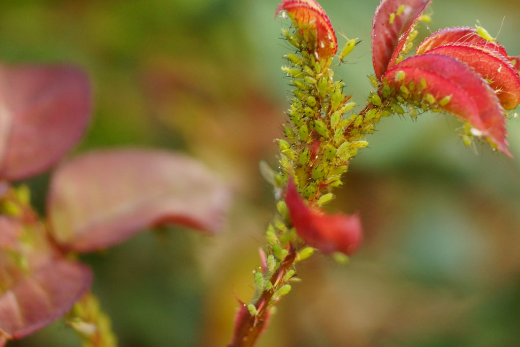 Blattläuse bei Rosen