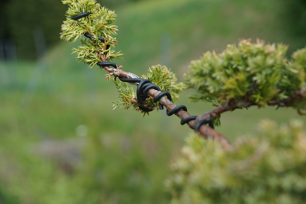 pflege von bonsai besuch in der m hlviertler. Black Bedroom Furniture Sets. Home Design Ideas