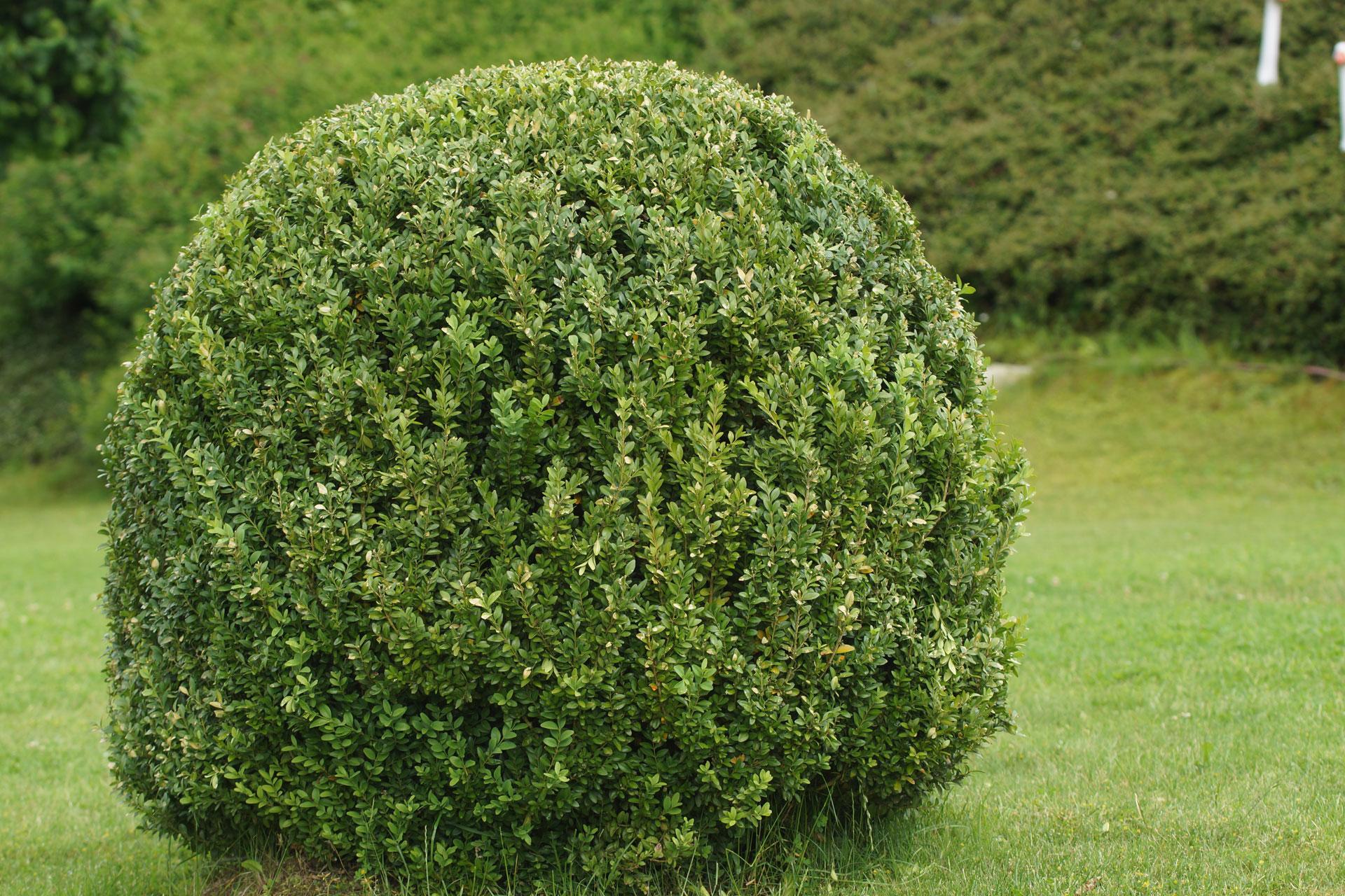 Buchsbaum in Kugelform