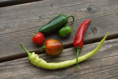 Paprika und Chili selbst anbauen