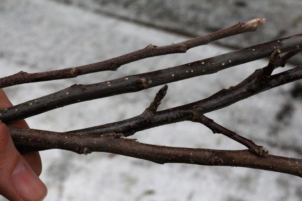 Edelreiser für Obstbäume schneiden