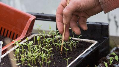 Jungpflanze pikieren