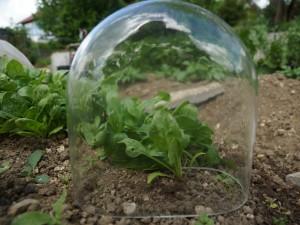 Schutz empfindlicher Pflanzen mit einer Glasglocke