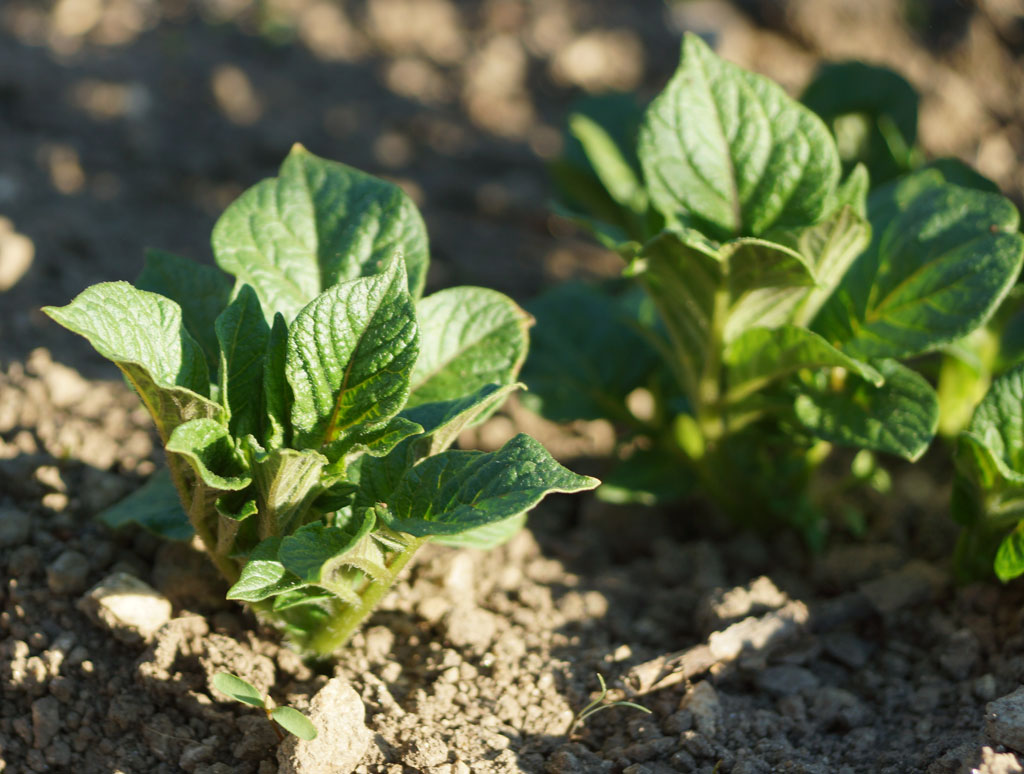 Junge Kartoffelpflanze