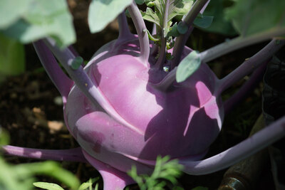 Kohlrabipflanze