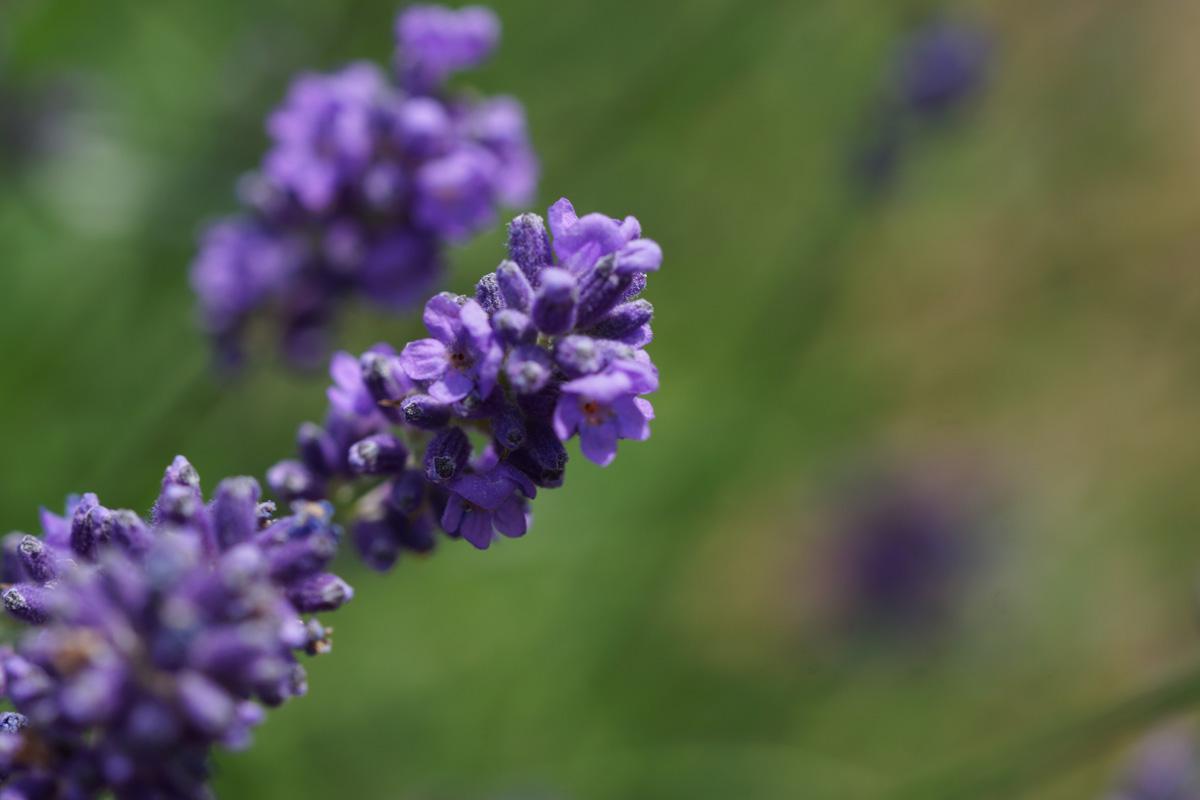 Sollte nicht ins Schlafzimmer: Lavendel