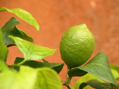Limettenbaum