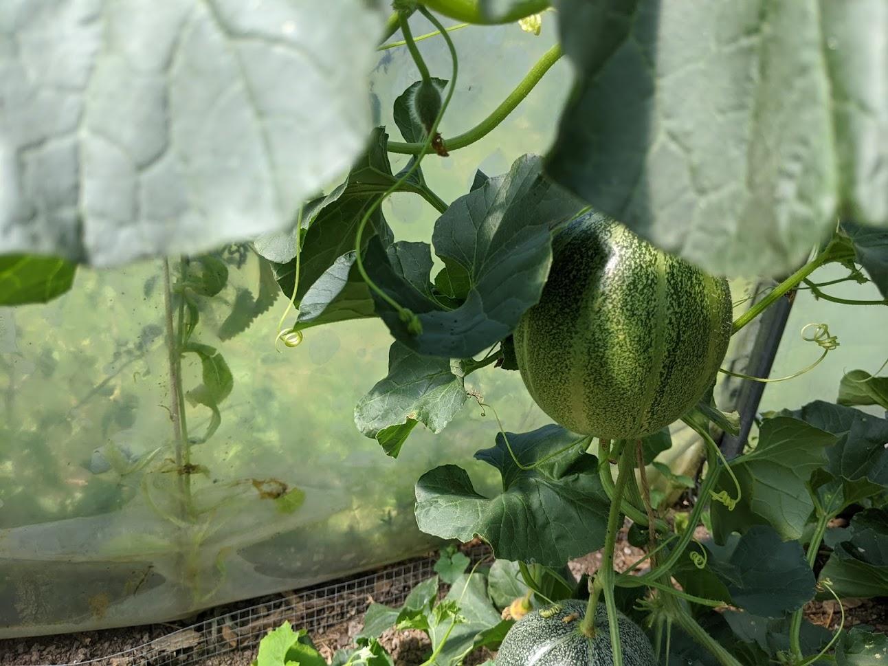 Wassermelone im Gewächshaus