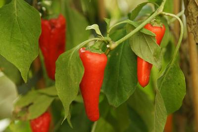 Chilli und Paprika überwintern