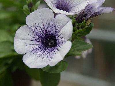 Petunien Solanaceae
