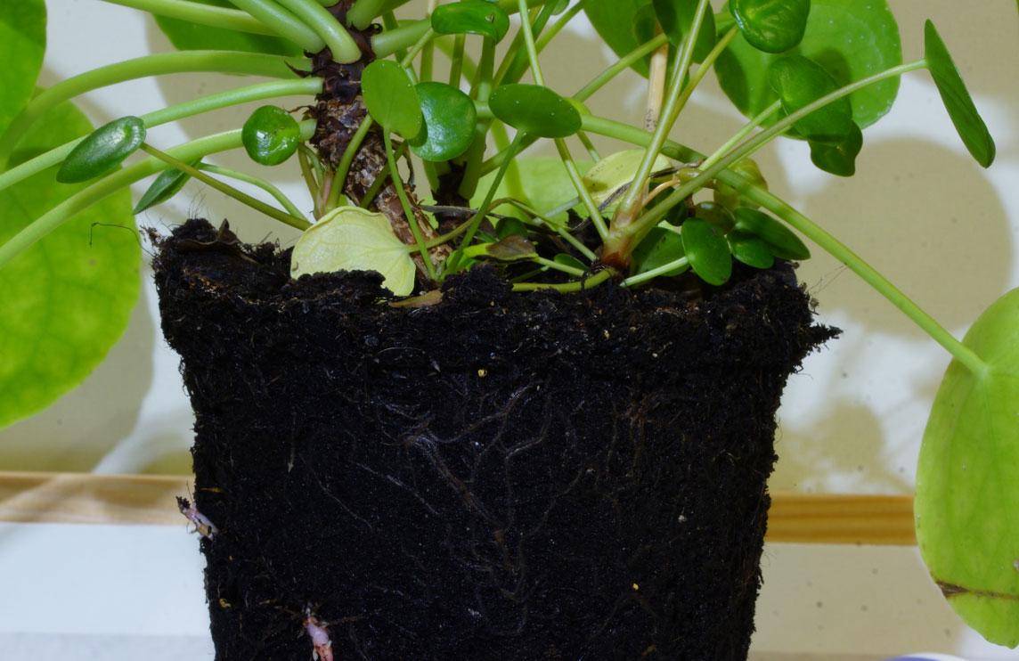 Zimmerpflanzen richtig umtopfen
