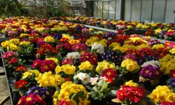 Primeln Blumenmeer