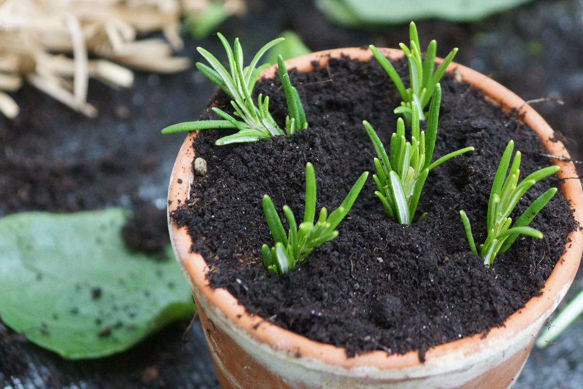 Kräuter vermehren durch Stecklinge – Wie geht das?