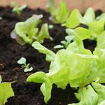 Junger Salat im Hochbeet