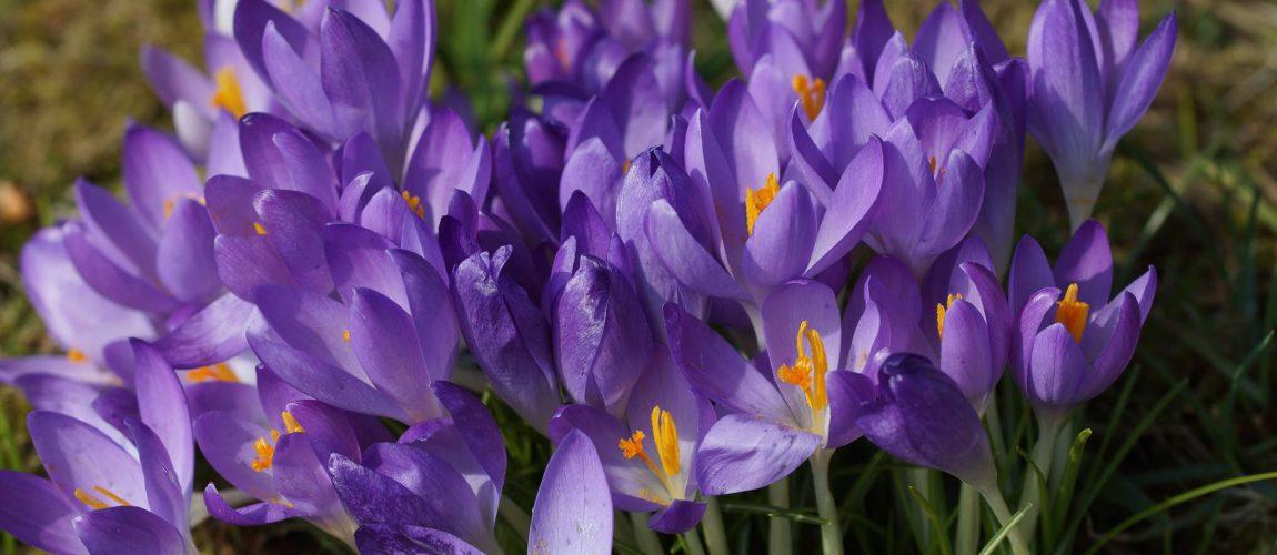 Krokus – einer der ersten Frühlingsboten