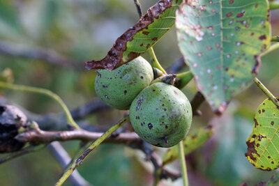 Walnussbaum (lateinisch: Juglans regia)