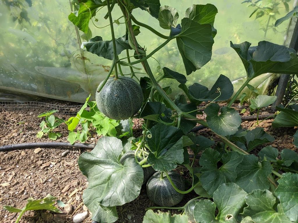 junge Wassermelone
