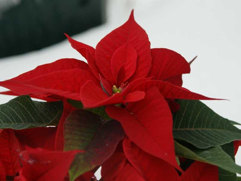 Weihnachtsstern – Tipps und Infos zur Pflege