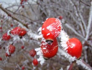 winter-hagebutten